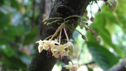 Cocoa Tree in Flower