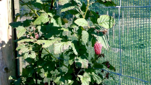 A tayberry, with potato plants beyond.