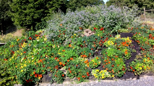 The nasturtium mound.