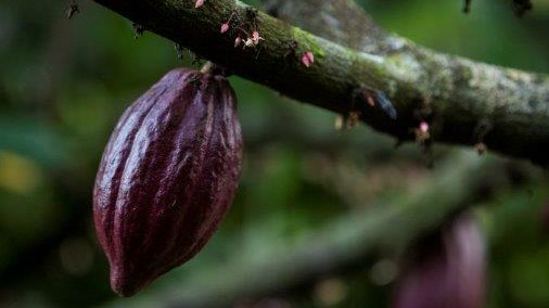 Mayan Red pods on flowering trees.